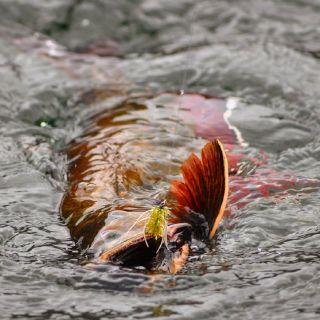 Big brook trout on San Ricardo Lagoon