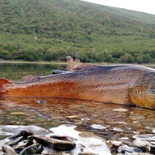 Big trout on Fueguian lagoon