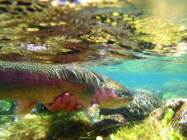 Fly-fishing Photoof Rainbow trout shared by Martin Ferreyra Gonzalez – Fly dreamers