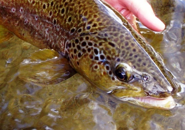 Fly-fishing Pictureof Brown trout shared by Nicolás Schwint – Fly dreamers