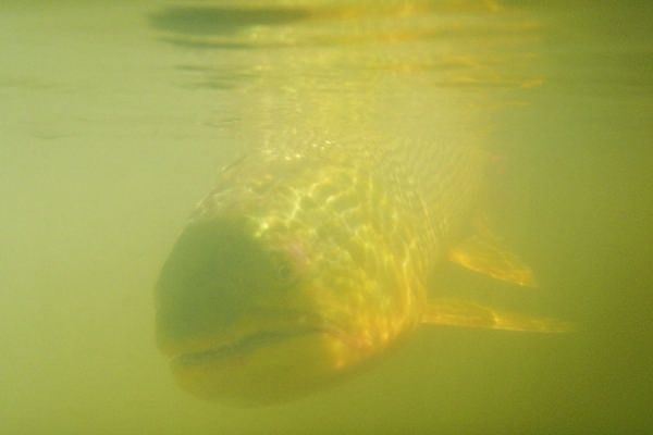 Fly-fishing Situation of Golden <strong>Dorado</strong> shared by Marcelo Rouvier