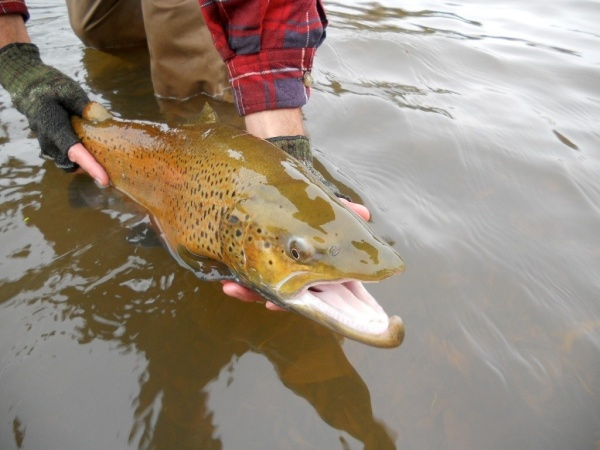 Fly-fishing Imageof Brown trout shared by Jim Misiura – Fly dreamers