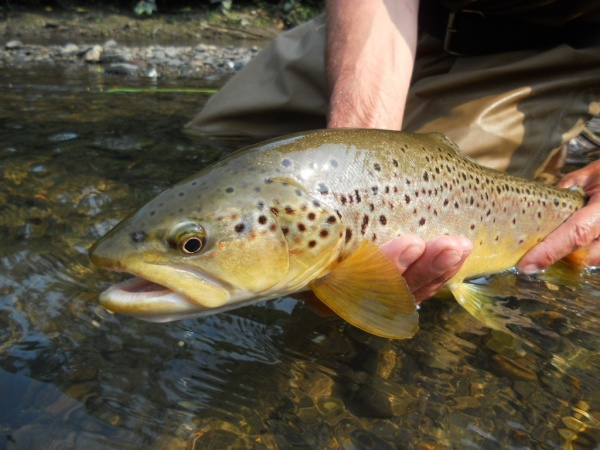 Jim Misiura 's Fly-fishing Catchof a Brown trout– Fly dreamers