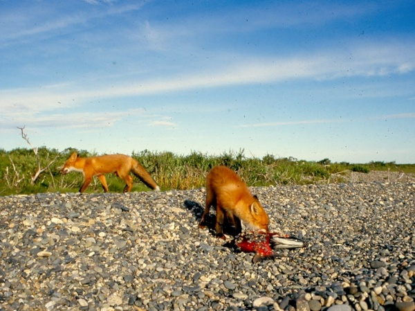 Fox Eating Sockeye Salmon by Jimbo Busse - Fly dreamers