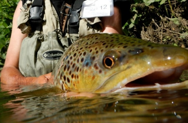 Jim Misiura 's Fly-fishing Picof a Brown trout– Fly dreamers