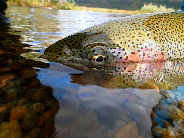 Felipe Morales 's Fly-fishing Photo of a Rainbow trout – Fly dreamers