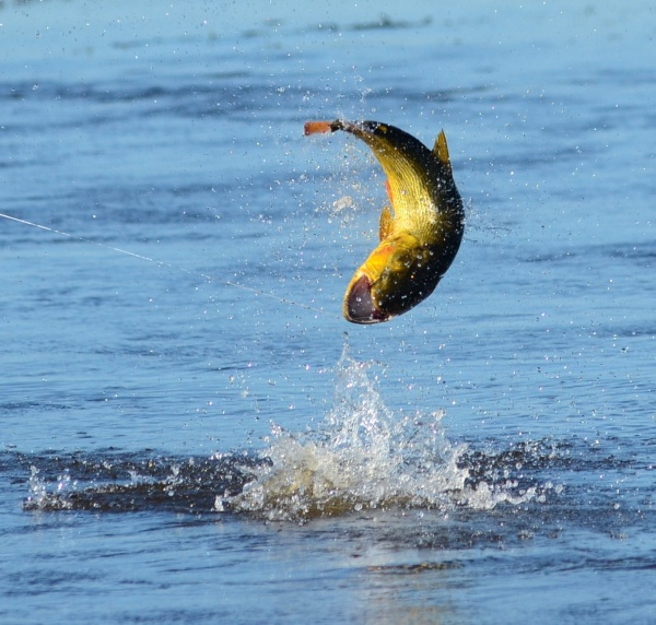 <strong>Patagonic</strong> Waters 's Fly-fishing Catch of a Dorados – Fly dreamers