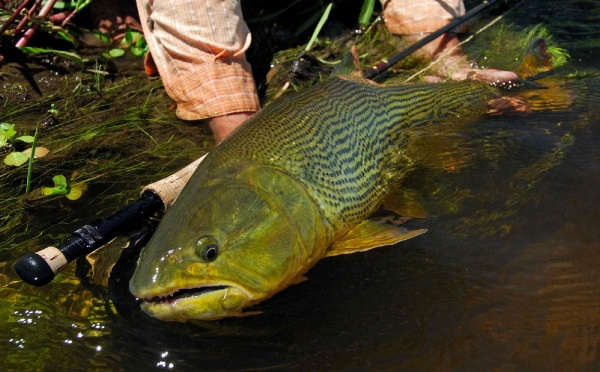 Fly-fishing Image of Golden Dorado shared by <strong>Patagonic</strong> Waters – Fly dreamers