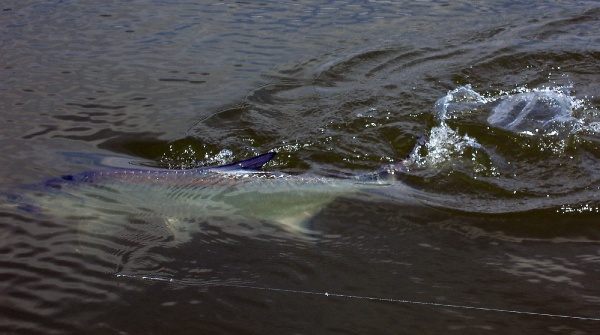 Bill Katzenberger 's Fly-fishing Pic of a Tarpon – Fly dreamers