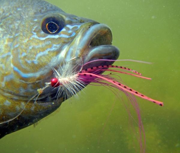 Sam Godfrey 's Fly-fishing Photoof a Perch– Fly dreamers