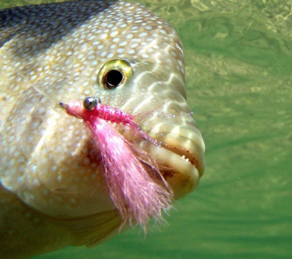 Fly-fishing Pic of Texas Cichlid - <strong>Rio</strong> Grande Cichlid shared by Sam Godfrey – Fly dreamers