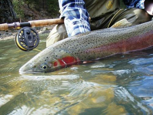 Salmon river, Idaho. Steelhead closeup