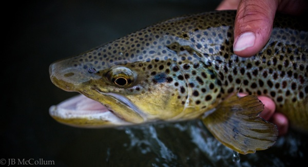 Fly-fishing Image of Brown trout shared by JB McCollum – Fly dreamers
