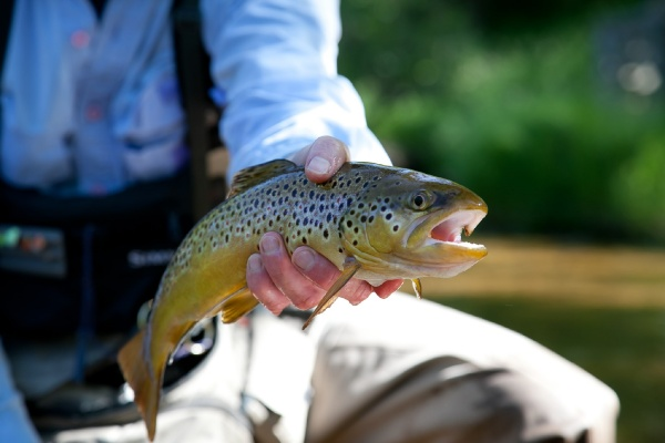 Fly-fishing Imageof Brown trout shared by Randy Riksen – Fly dreamers