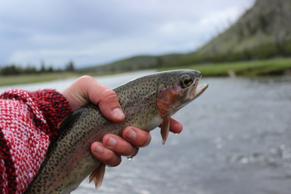 Robert Gibbes 's Fly-fishing Pic of a Rainbow trout – Fly dreamers