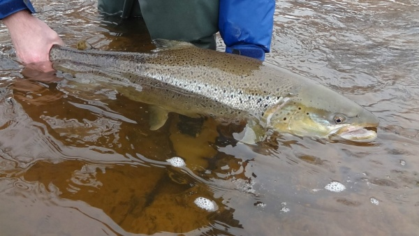 Fly-fishing Imageof Brown trout shared by Ryan Brown – Fly dreamers