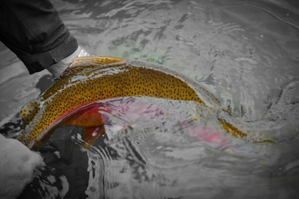 Fly-fishing Image of Rainbow trout shared by Oliver Strickland – Fly dreamers