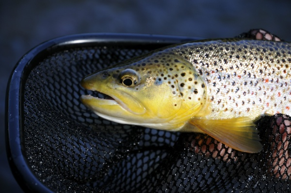 Kimbo May 's Fly-fishing Catch of a Brown trout – Fly dreamers