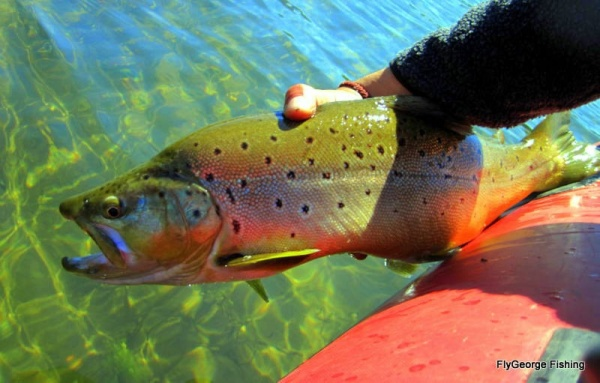 Jorge Espindola Pincheira 's Fly-fishing Picof a Lake trout– Fly dreamers