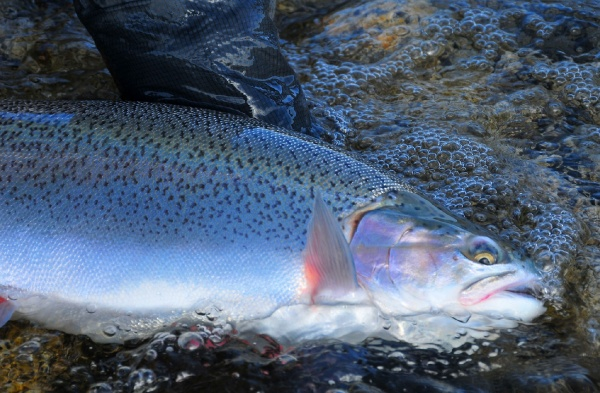 Marcelo Morales 's Fly-fishing Imageof a Rainbow trout– Fly dreamers