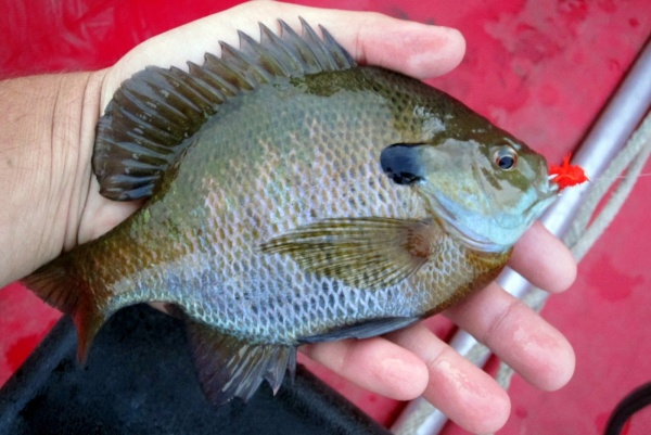 Fly-fishing Pic of Bluegill shared by Travis Morhardt – Fly dreamers