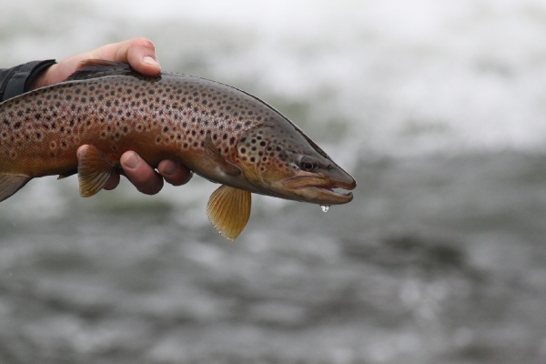 Jeremy Clark 's Fly-fishing Image of a Brown trout – Fly dreamers