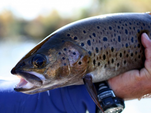 Mongolia's under-appreciated trout. What's the knock on lenok? That depends on who you ask. To Mongolian flyfishing guides, accustomed to their clients' monomaniacal pursuit of giant taimen, the two species of lenok are trustworthy, loyal, helpf...