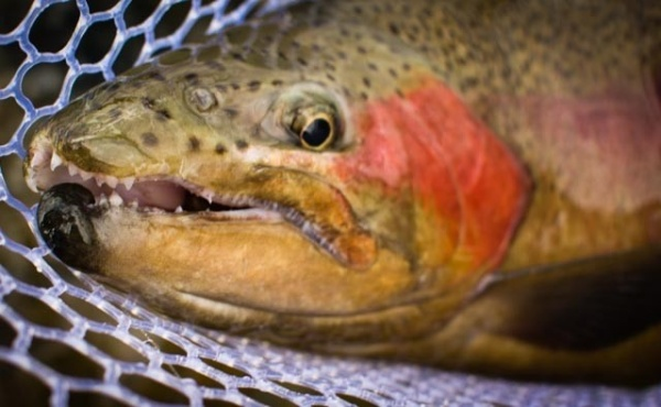 Fly-fishing Photoof Rainbow trout shared by Oliver Strickland – Fly dreamers