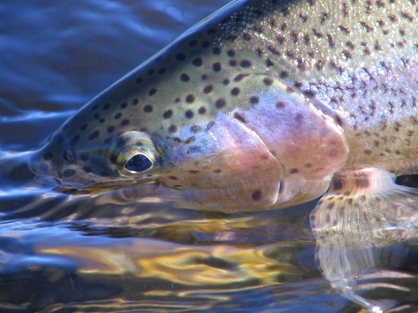 <strong>Chip</strong> Drozenski 's Fly-fishing Image of a Rainbow trout – Fly dreamers