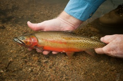 What Is A Native Trout?