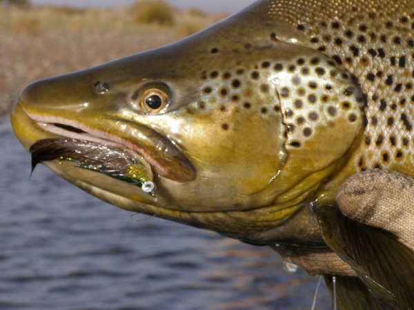 <strong>Chip</strong> Drozenski 's Fly-fishing Photo of a Brown trout – Fly dreamers