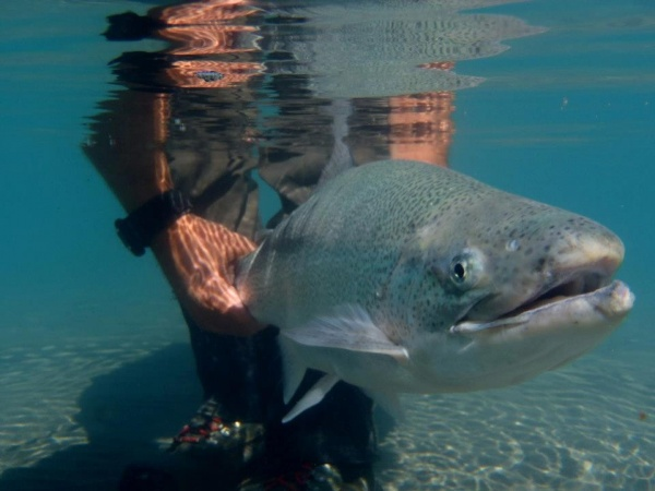 Fly-fishing Photo of Rainbow trout shared by <strong>Chip</strong> Drozenski – Fly dreamers