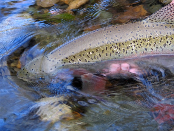 Fly-fishing Image of Rainbow trout shared by <strong>Chip</strong> Drozenski – Fly dreamers