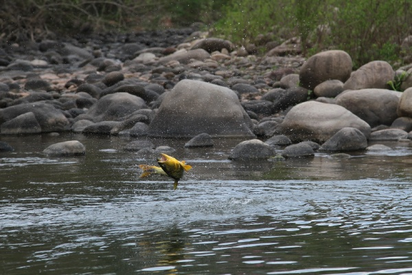 Fly-fishing Situation of Golden <strong>Dorado</strong> shared by Tom Baxter