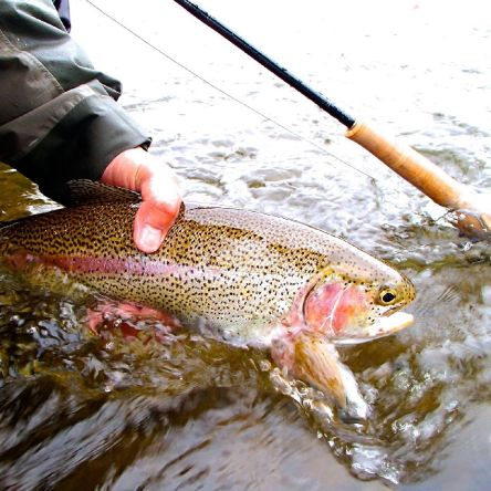 Upper Delaware River rainbow trout taken on a pats stone fly.