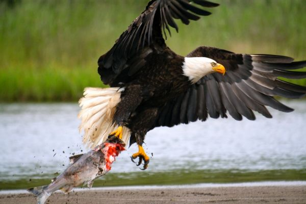 Bald Eagle in <strong>Alaska</strong> - By Angler's Alibi Lodge - Fly dreamers