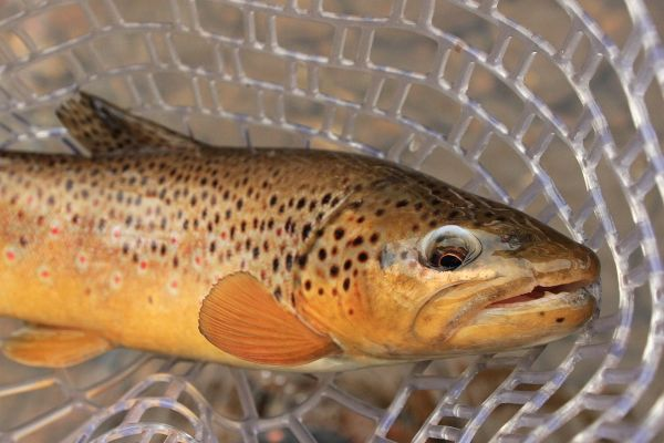 Fly-fishing Photo of Brown trout shared by Wendell Baer – Fly dreamers