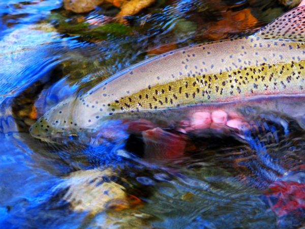 Chip Drozenski 's Fly-fishing Imageof a Rainbow trout– Fly dreamers