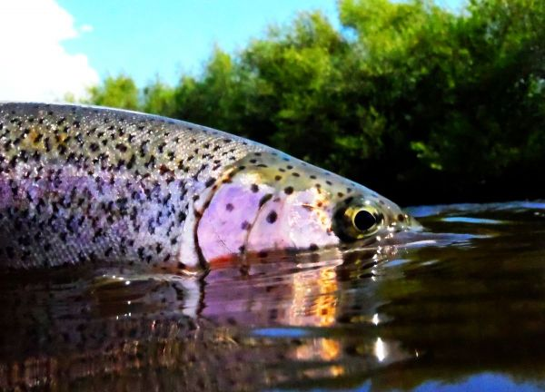 Fly-fishing Photoof Rainbow trout shared by Chip Drozenski – Fly dreamers