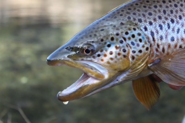 Jeremy Clark 's Fly-fishing Photo of a Brown trout – Fly dreamers