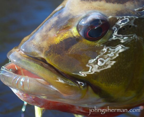 Patrick Pendergast 's Fly-fishing Catchof a Peacock Bass– Fly dreamers