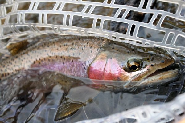 Fly-fishing Pic of Rainbow trout shared by Wendell Baer – Fly dreamers