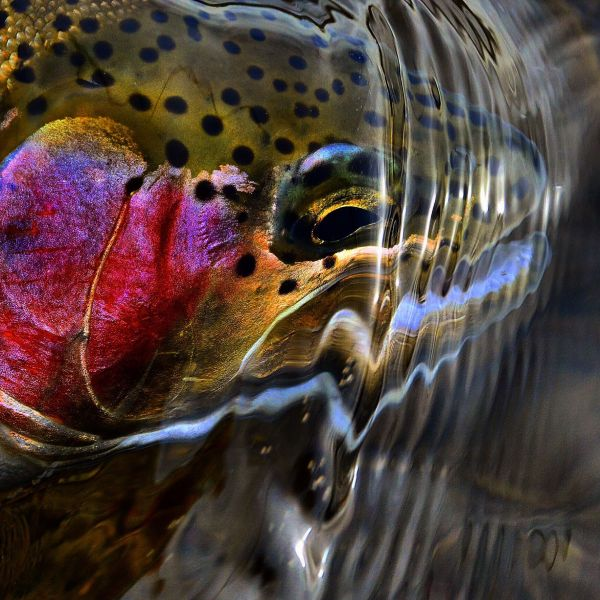 Fly-fishing Image of Rainbow trout shared by Michael Stack – Fly dreamers