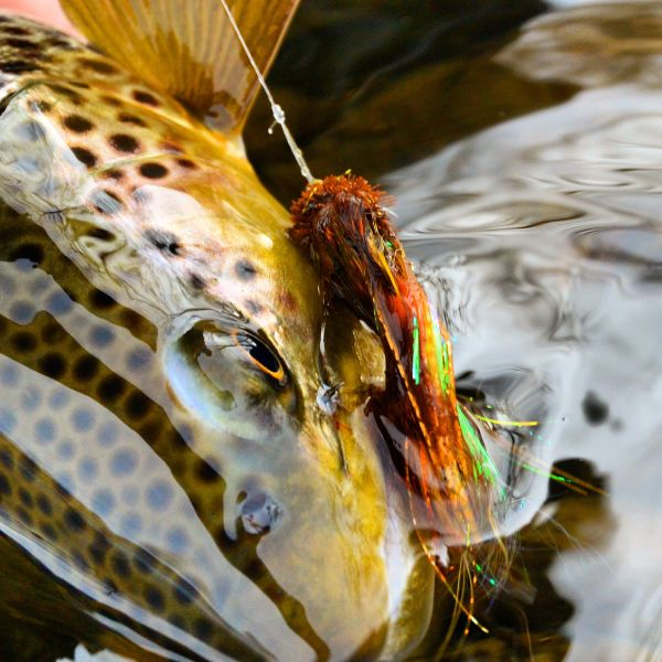 Michael Stack 's Fly-fishing Pic of a Brown trout – Fly dreamers