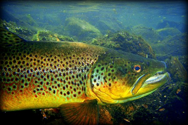 Jean Sylvain Amy 's Fly-fishing Catch of a Brown trout – Fly dreamers