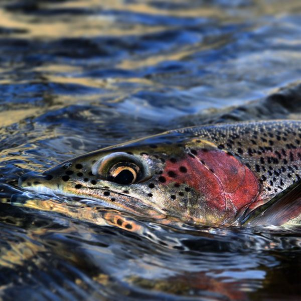 Fly-fishing Pic of Rainbow trout shared by Michael Stack – Fly dreamers