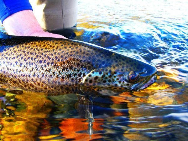 Chip Drozenski 's Fly-fishing Image of a Brown trout – Fly dreamers