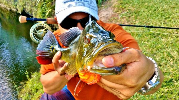 Peacock Bass On the Fly in <strong>Florida</strong> - Fly dreamers