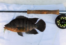 Semper Fly 's Fly-fishing Imageof a Texas Cichlid - <strong>Rio</strong> Grande Cichlid– Fly dreamers