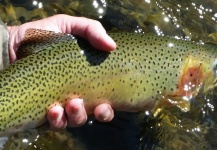 Chris Andersen 's Fly-fishing Photo of a Cutthroat – Fly dreamers